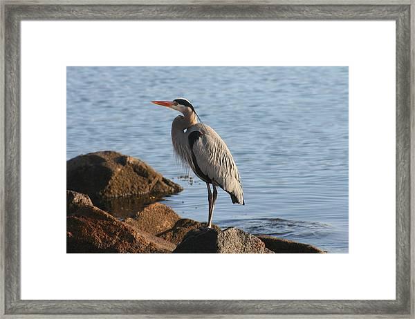 Morro Bay Egret Framed Print by Tony and Kristi Middleton