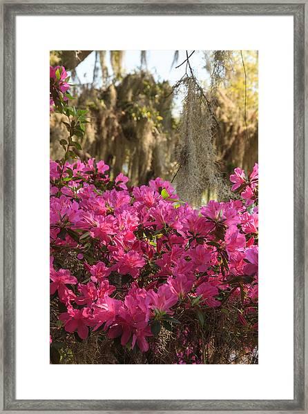 Moss Over Azaleas Framed Print