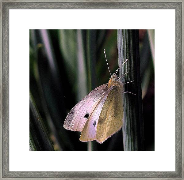Moth In Light Framed Print