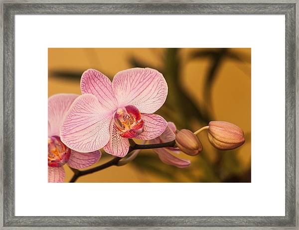 Moth Orchid Framed Print