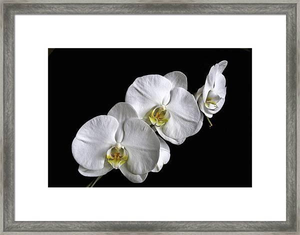 Moth Orchid Trio Framed Print