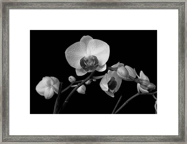 Moth Orchids Framed Print