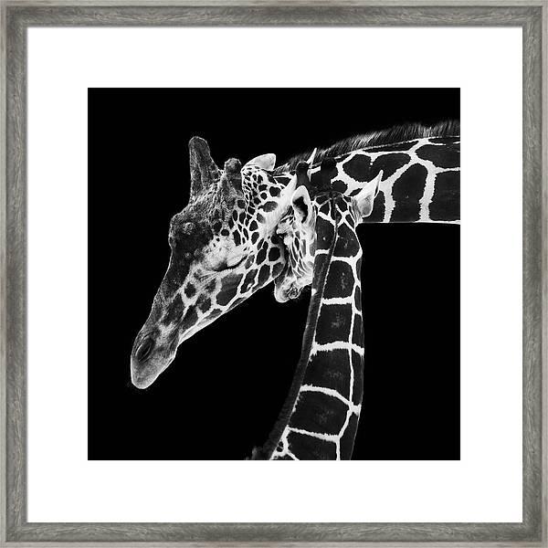 Mother And Baby Giraffe Framed Print