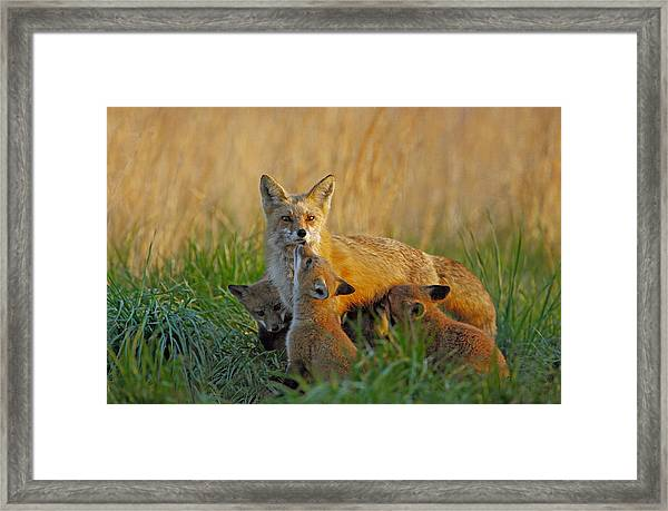Framed Print featuring the photograph Mother Fox And Kits by William Jobes