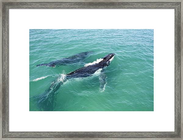 Mother Whale And Calf Framed Print