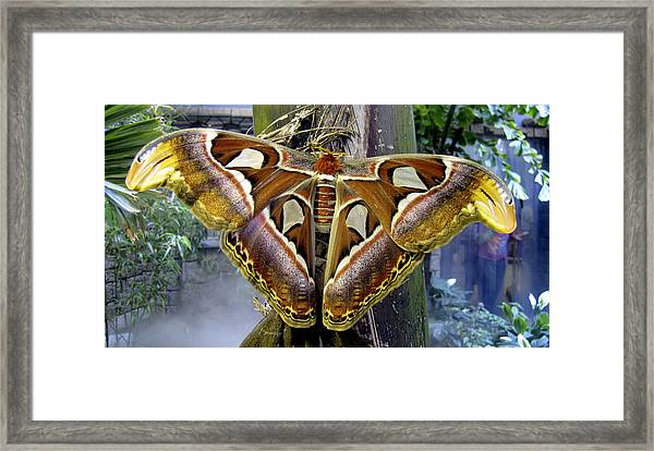 Framed Print featuring the photograph Atlas Moth by Bob Slitzan