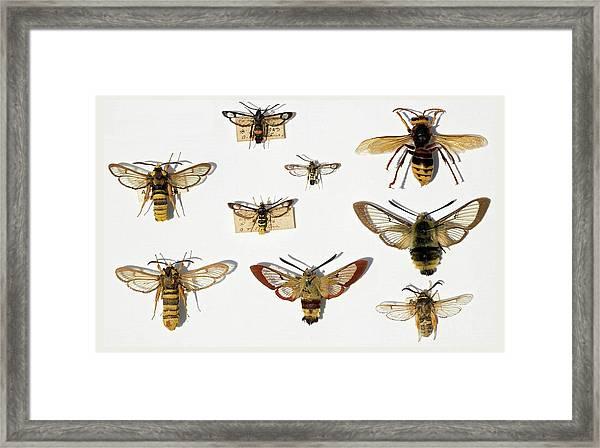 Moths And Batesian Mimicry Framed Print
