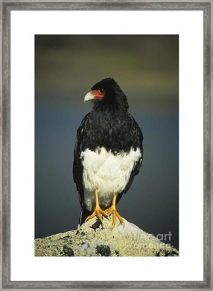 Mountain Caracara Framed Print