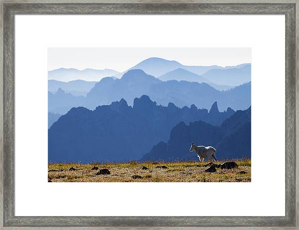 Mountain Goat, Cascade Mountain Range Framed Print