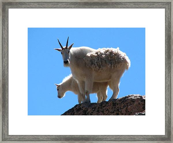 Mountain Goat Mother And Baby Framed Print