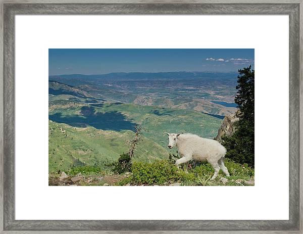 Mountain Goat, Oreamnos Americanus Framed Print by Howie Garber
