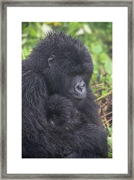 Mountain Gorilla, Gorilla Beringei Framed Print