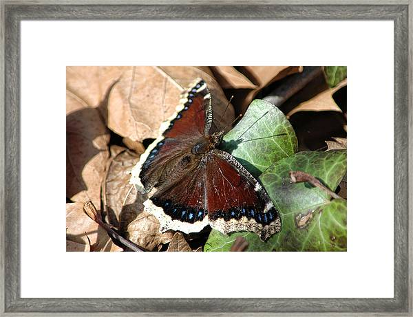 Framed Print featuring the photograph Mourning Cloak by David Armstrong