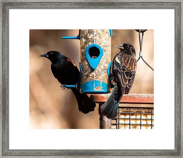 Mr. And Mrs. Red Winged Blackbird Framed Print
