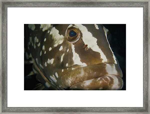 Mr. Grouper Framed Print