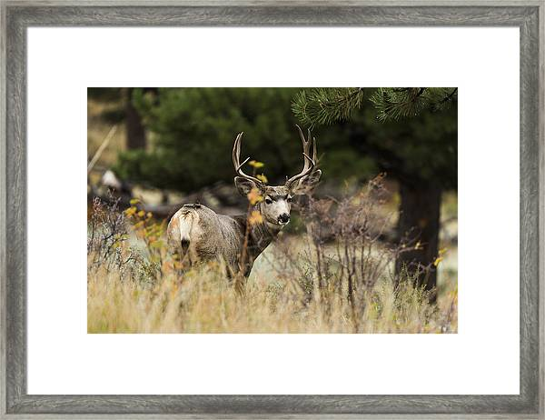 Mule Deer I Framed Print