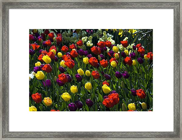 Colorful Tulip Field Framed Print