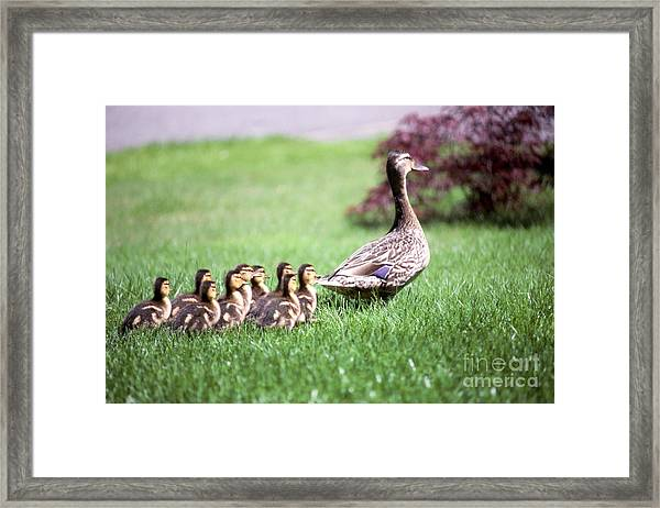 Mumma Duck And Kids Framed Print by King Wu