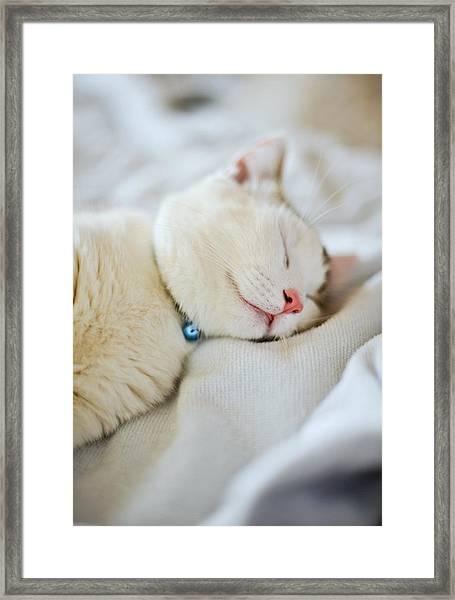 Munchkin Kitten Sleeping Framed Print by Nazra Zahri