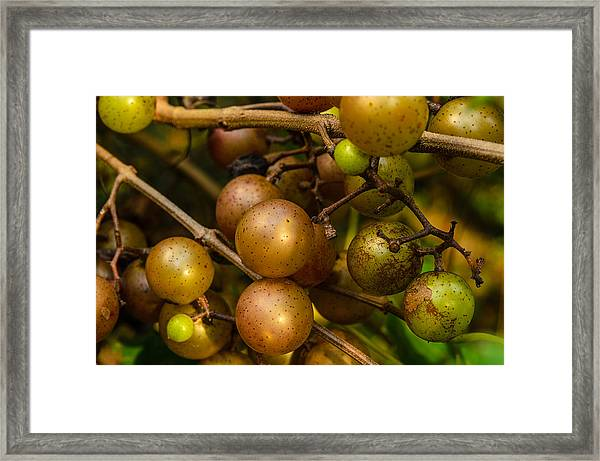 Muscadine Grapes Framed Print