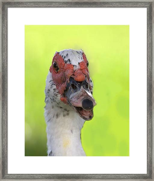 Muscovy Duck Framed Print