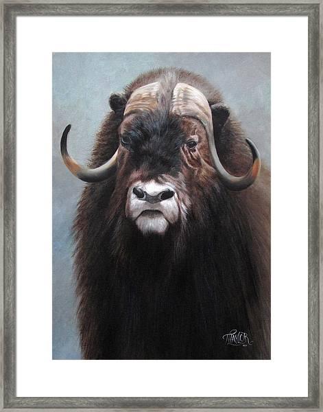 Musk Ox Framed Print