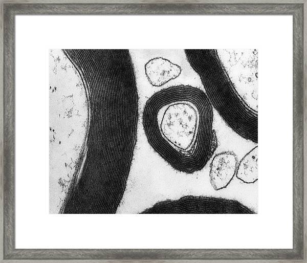Myelin Sheaths Surrounding Axons Cns Framed Print