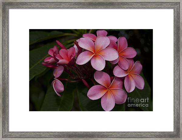 Na Lei Pua Melia O Wailua - Pink Tropical Plumeria Hawaii Framed Print