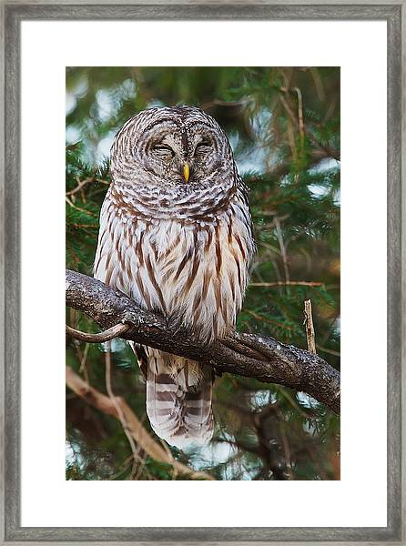 Napping Barred Owl Framed Print