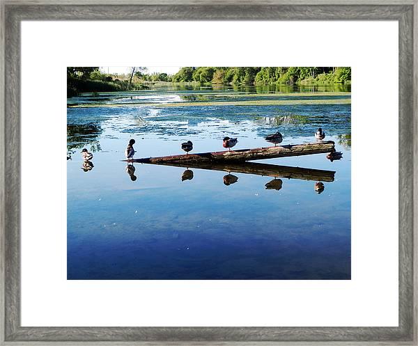 Napping Ducks Framed Print