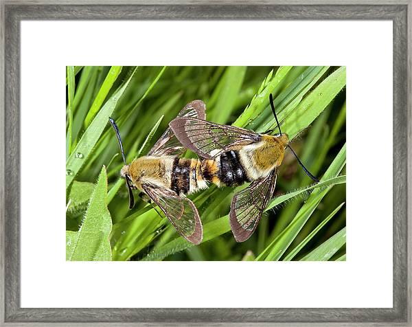 Narrow-bordered Bee Hawk-moths Mating Framed Print