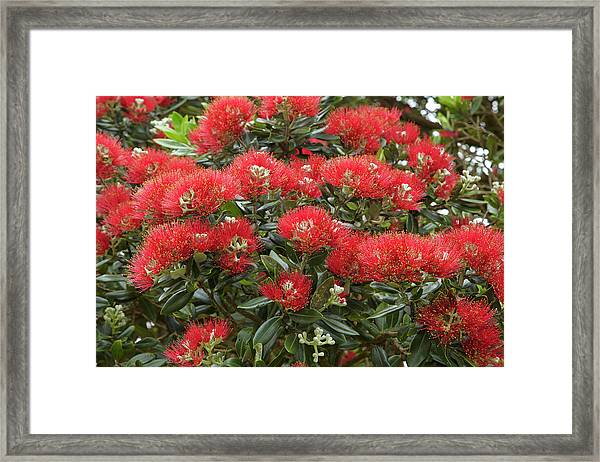 Native Pohutukawa Flowers (metrosideros Framed Print by David Wall