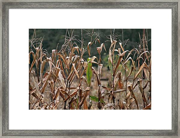 Neball Corn Field Framed Print