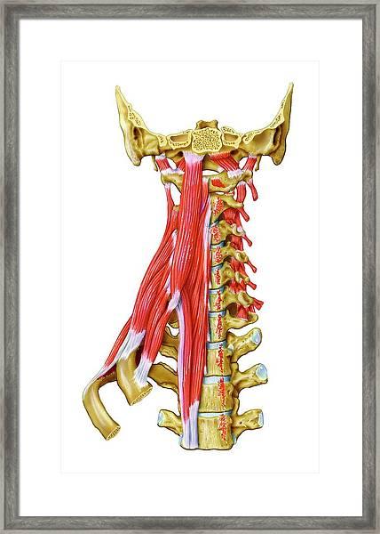 Neck Muscles Framed Print