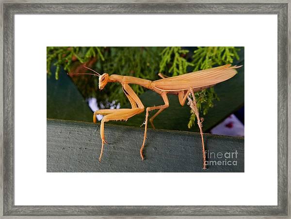 Neighborly Mantis Framed Print