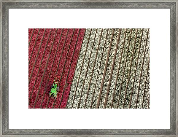 Netherlands, Tractor In Tulip Fields Framed Print by Peter Adams