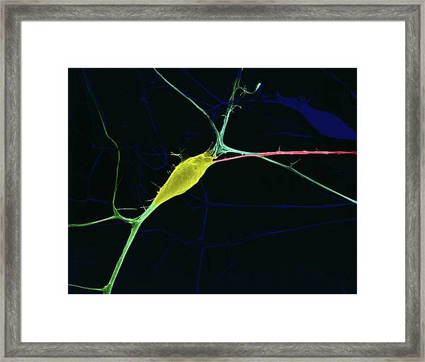 Neuron Growing In Culture Framed Print
