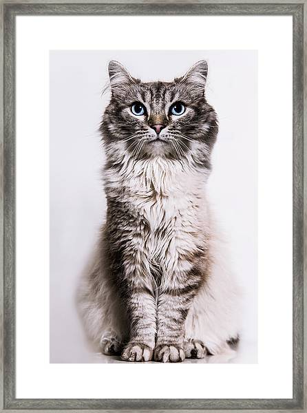 Neva Masquerade Cat In The Studio Framed Print by Kevin Vandenberghe