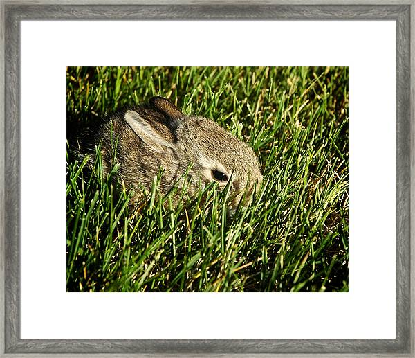 The Baby Cottontail Framed Print