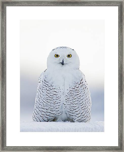 Nh Seacoast Snowy Owl  Framed Print