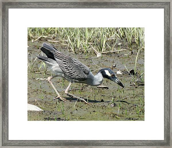 Night Heron Feeding Framed Print