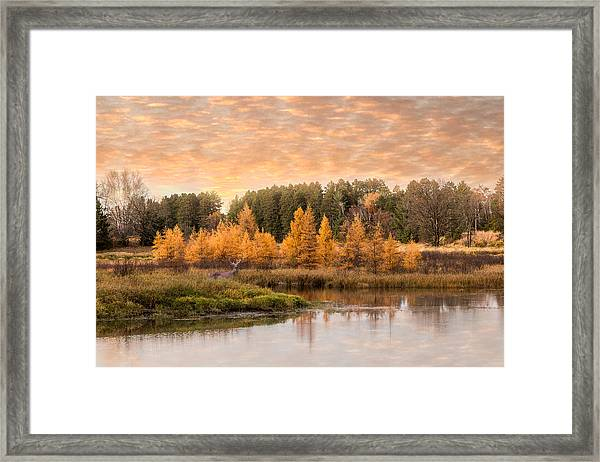Framed Print featuring the photograph Tamarack Buck by Patti Deters