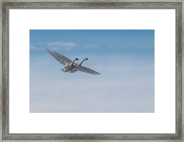 Framed Print featuring the photograph Trumpeter Swan Tandem Flight I by Patti Deters