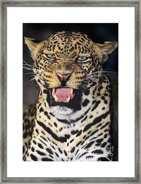 No Solicitors African Leopard Endangered Species Wildlife Rescue Framed Print