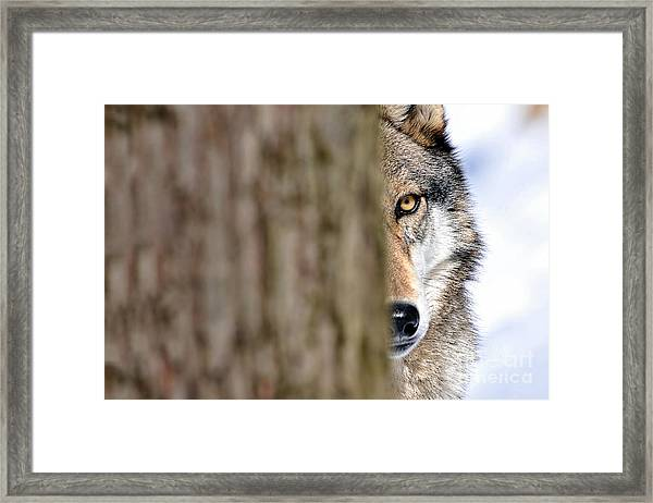 North American Gray Wolf Behind Tree Framed Print
