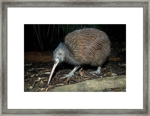 North Island Brown Kiwi Framed Print