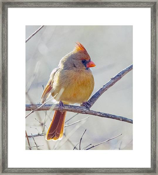 Northern Cardinal Female Framed Print