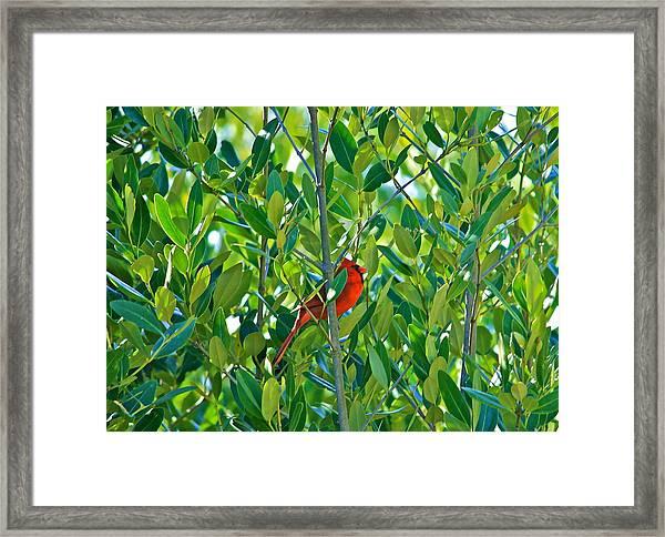 Northern Cardinal Hiding Among Green Leaves Framed Print