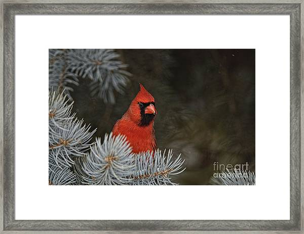 Northern Cardinal In Spruce Tree Framed Print