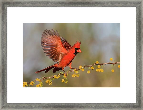 Northern Cardinal Male Landing Framed Print by Larry Ditto